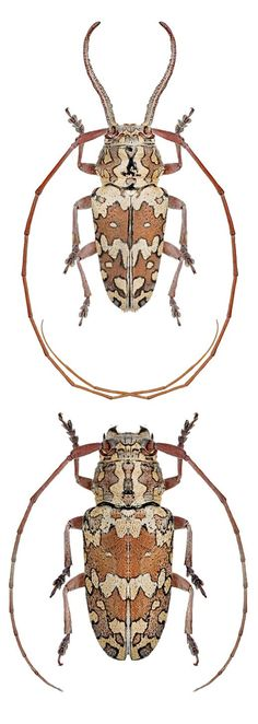 Beetle Insect, Beetle Bug, Insect Art, Cool Insects, Bugs And Insects, Longhorn Beetle, Types Of Bugs, Cool Bugs, Beautiful Bugs