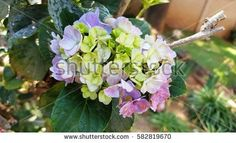 Find Red Pink Yellow Flowers Summer Green stock images in HD and millions of other royalty-free stock photos, illustrations and vectors in the Shutterstock collection. Thousands of new, high-quality pictures added every day. Yellow Flowers, Pink Yellow, Red And Pink, Purple, Hydrangea Flower, Shades Of Green, Flora, Photo Editing, Royalty Free Stock Photos
