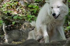 Arctic Wolf Pup and Mom. Parc Omega Nature Preserve, Montebello, Quebec.