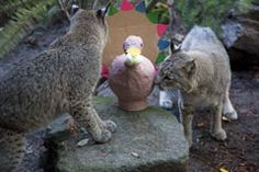 """Zoo's animals to gobble up Thanksgiving 'Beast Feast': The Oregon Zoo's bobcats investigate a papier-mâché turkey stuffed with treats. Zoo animals will receive special treats and Thanksgiving-themed enrichment throughout the holiday weekend (Nov. 24-27 [2011]). Photo by Julie Cudahy, courtesy of the Oregon Zoo."""