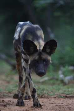 African Wild Dog...brings me back to playing Zoo Tycoon 2... :-)