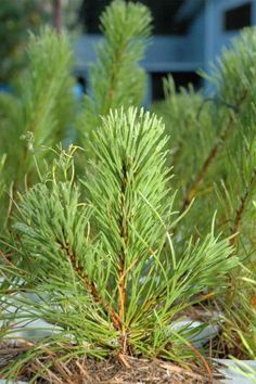 Hardy Trees for the Prairies Sherwood Forest, Forest House, Shelter, Building A House, Belts, Trees, Layout, Gardening, Landscape
