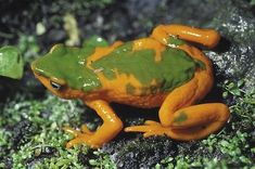 The Onore's Harlequin Frog - A toad that jumped from its description to its extinction Although commonly known as a frog, Atelopus onorei is actually a toad in the Bufonidae family, which is distinguished from other Atelopus species by its color patterns in yellow-orange and green, and by its aqua-blue iris.