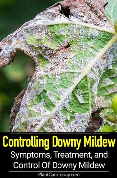 Downy mildew disease - commonly thought of as a fungal infection, actually a highly specialized parasite, plants display white or yellow patches, occurs damp weather. [DETAILS]