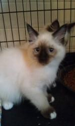 Bentley is an adoptable Ragdoll Cat in Tuscaloosa, AL. The Humane Society of West Alabama's cat adoption center at 1515 Veterans Memorial Pkwy is open Saturdays from 10:00 a.m. until 2:00 p.m. Appoint...