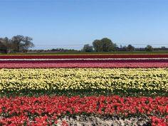 Beschrijving van mijn favoriete fietsroute door Noord Groningen. Van de Stad naar de Waddenzee en langs de grens met Friesland weer terug. Hiermee laat ik zien dat fietsen in Groningen hartstikke leuk kan zijn. Vineyard, Nature, Travel, Outdoor, Outdoors, Naturaleza, Viajes, Vine Yard, Destinations
