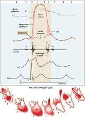 Wiggers diagram nursing infoeducation pinterest diagram wiggers diagram google search ccuart Images