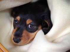 Cómo cuidar a un perro dachshund (perro salchicha)