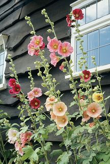 I love hollyhocks!!!! going to  build a hollyhock  bed in our backyard