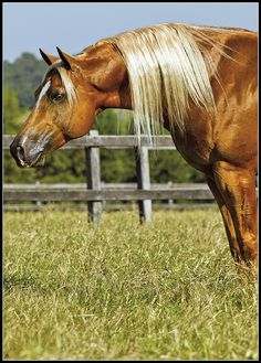 Kind of reminds me of my Trigger - double registered Palamino/Quarter Horse - miss him terribly...