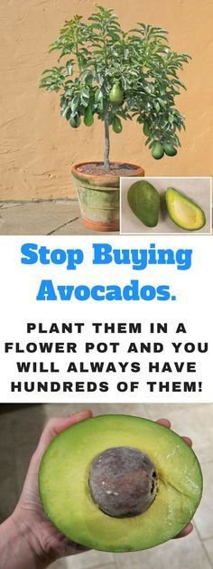 How to Grow an Avoca