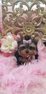 Some of the Tiniest, Most Beautiful Teacup Yorkie Puppies in the World! Teacup Yorkie and Small Toy Yorkies for Sale. Micro Yorkies, Micro Teacup Yorkie, Teacup Yorkie For Sale, Cute Teacup Puppies, Yorkies For Sale, Yorkie Puppy For Sale, Cute Pomeranian, Puppies For Sale, Cute Puppies