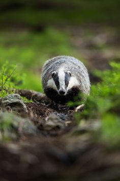 European Badger - null