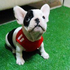อาปาเช่สุดหล่อ #frenchbulldogs #french #frenchbulldogpuppy #frenchbulldog…