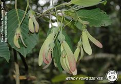 Dipterocarpus acutangulus - Fruiting twig.jpg