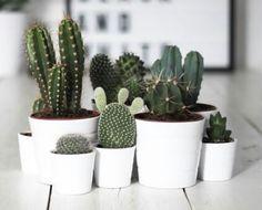 Avoir beaucoup de cactus