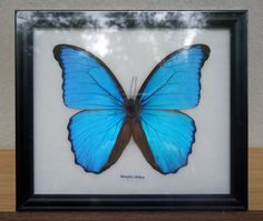 Morpho didius Beautiful butterfly framed butterfly taxidermy collection for gift by Topinsects on Etsy https://www.etsy.com/listing/251516013/morpho-didius-beautiful-butterfly-framed