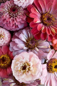 zinnias- shades of pink