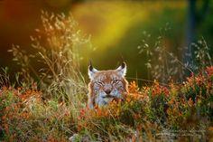 Lynx on meadow by Stanislav Duben on 500px