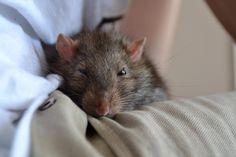 Rat domestique