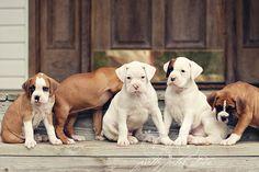 Fine Art Photograph Sweet Boxer Puppy Dogs by PrettyPetalStudio