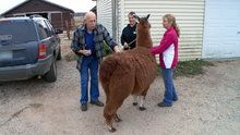 The Incredible Dr. Pol - One Hot Llama