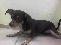 SAFE - 07/28/14  Brooklyn Center   RUBY - A1007941   FEMALE, TRICOLOR, CHIHUAHUA SH, 4 yrs  OWNER SUR - EVALUATE, NO HOLD Reason MOVE2PRIVA   Intake condition NONE Intake Date 07/24/2014, From NY 11207, DueOut Date 07/24/2014 https://www.facebook.com/Urgentdeathrowdogs/photos_stream?tab=photos_stream