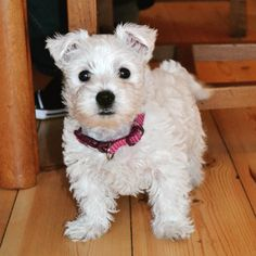 This is my sister's new adorable westie puppy named Bonnie. She is just 8weeks old and this was her first day away from her mum exploring her new home. #westie #westhighlandwhite #terrier #puppy #adorable #cute