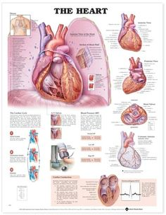 One of our most popular charts, The Heart features a large central image that shows the heart sitting on the diaphragm with the suggestion of the lungs and r...