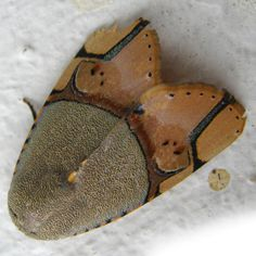 Noctuid moth. Wow, I thought it was part of a leather shoe. :}