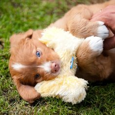 5 weeks old Sweet blue-eyed Toller pup! 5 weeks old Toller Dog, Worlds Cutest Animals, Puppies With Blue Eyes, Cute Baby Puppies, Baby Animals, Cute Animals, Nova Scotia Duck Tolling Retriever, Small Dog Clothes, Cute Dogs Breeds