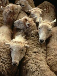 schapen ter veiling, foto Farrell Grehan