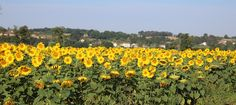 View from Bonnezac to Chatain through the sunflowers - August early morning 2015 Early Morning, Sunflowers, Vineyard, Plants, Outdoor, Outdoors, Vine Yard, Vineyard Vines, Plant