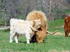 Ayrshire Farm Scottish highland cattle