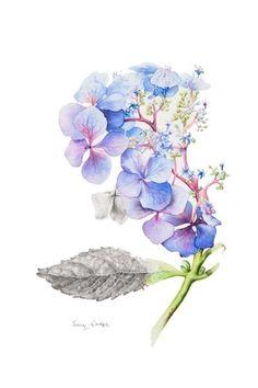 Wild Blue Hydrangea | Jenny Coker More