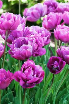 Backpacker is a late-blooming double #tulip with flowers that are the color of purple raspberries. Beautiful alone and a striking companion for soft pastels or bright oranges and yellows. The compact height, peony-like flowers and later bloom time make it ideal for perennial #gardens.