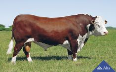 My bull Mount Sinai Hereford Bull. Cute Baby Animals, Farm Animals, Animals And Pets, Hereford Cattle, Longhorn Cow, Bull Cow, Teacup Pigs, Pet Guinea Pigs, Show Cattle