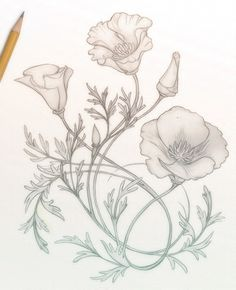 California Poppies sketch by Catherine Noel of Hunter & Moon