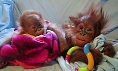 Right little monkeys! TV show reveals all about rearing orangutans