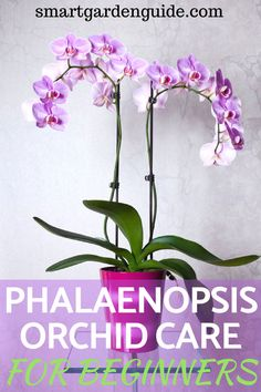 to grow orchids. This guide covers the most popular type of orchid, the phalaenopsis. Everything from choosing your orchid at the store, to watering and feeding orchids. When to prune and repot. Orchids are surprisingly easy to care for. Orchid Plant Care, Phalaenopsis Orchid Care, Moth Orchid, Orchid Plants, Orchid Flowers, Orchid Repotting, Indoor Orchid Care, Potted Plants, Indoor Plants