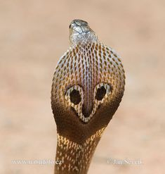 indian cobra, May look like Mickey mouse ears but you should run, you will die. Snake Farm, Indian Cobra, King Cobra Snake, Rare Animals, Strange Animals, Beautiful Snakes, Mundo Animal, Wildlife Conservation, Snakes