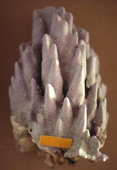 Hydrolithon craspedium iun Fiji - lab photo of single specimen Fiji, Birthday Candles, Glaze, Enamel, Display Window