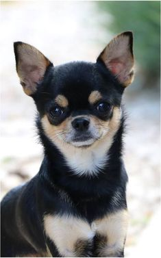 Geez so beautiful !!!! #chihuahua