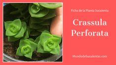 Crassula Perforata - Fichas de Plantas Suculenas Vides, Cactus Y Suculentas, Air Plants, Succulents, Vegetables, Green, Garden Ideas, Patio, Cactus Names