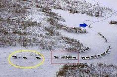 Déplacement d'une meute de loups : Les trois premiers sont les plus vieux ou les plus malades : ce sont eux qui rythment le groupe. Si ce n'était pas le cas, la meute les distancerait et, en cas d'attaque, seraient sacrifiés. Ils sont suivis par cinq loups forts et puissants, puis par le reste de la meute et de nouveau cinq loups puissants. Le dernier loup, bien derrière, est le mâle alpha. Le chef de meute. Depuis sa position, il contrôle le groupe, décide de la direction à prendre et…
