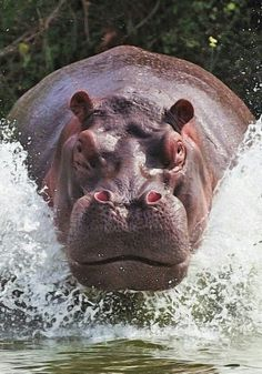 If you ever are in the water and you see a Hippo doing this... it's over.