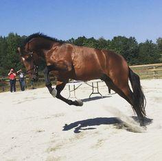 The stallion performance test. #warmblood #westphalen #horse #bay #stallion #instahorse #horsesofinstagram #stallionsofinstagram #warmbloodstallion #performancetest