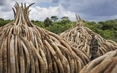 Yahoo Japan Refuses to Stop Ivory Sales on Its Site...