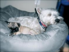 I need to take more pics of my sweet Westie  Mini Pug, love them so much
