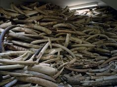 UK Government Falls Short in Modern Day Ivory Ban | Tusk